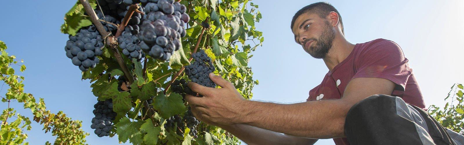 Cavallero, un buon vino nasce in vigna